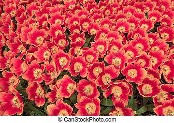 campo de tulipán, en, keukenhof, jardines, lisse, países bajos