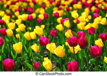 campo de tulipán