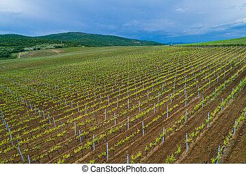 campo, de, vino rojo, uva, viña