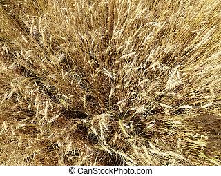campo, de, wheat.