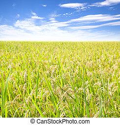 campo del arroz, con, nube, plano de fondo