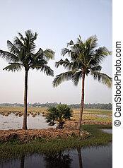 campo del arroz, en, kumrokhali, bengala del oeste, india.