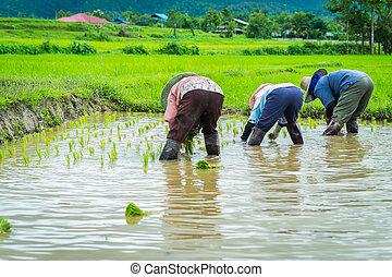 campo del arroz, trasplante, plantas de semilla, granjero