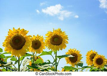 campo, di, bello, luminoso, girasoli, contro, il, cielo blu