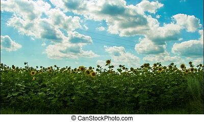 campo, em movimento, girassóis, fundo, Nuvens