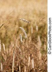 campo, fazenda trigo, dourado