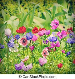 campo, fiori, anemone