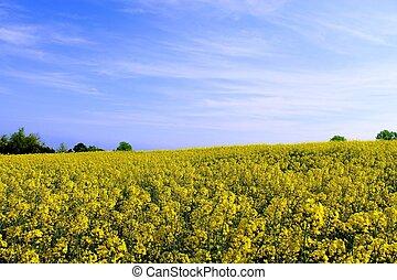 Campo de flores amarillas en cielo azul