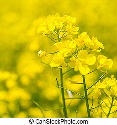 campo, flores, amarillo