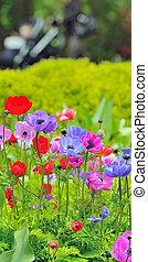 campo, flores, anémona