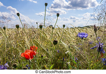 campo, flores, fundo