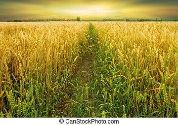 campo frumento, raccogliere, prima