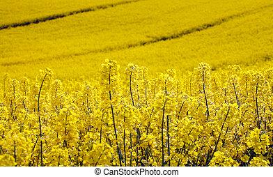 campo giallo, con, olio, seme, stupro, in, presto, primavera