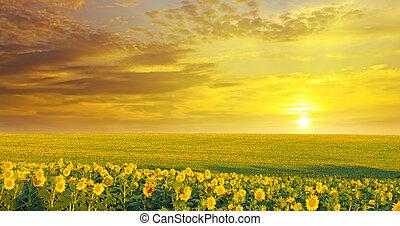 campo, girasoles, salida del sol