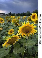 campo girassóis, em, tuscany, antes de, a, tempestade