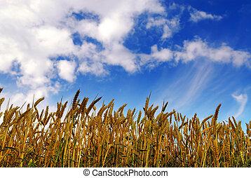campo, grano