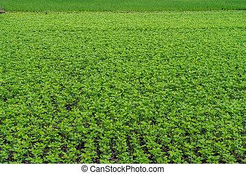 campo, legumes, verde, jardim