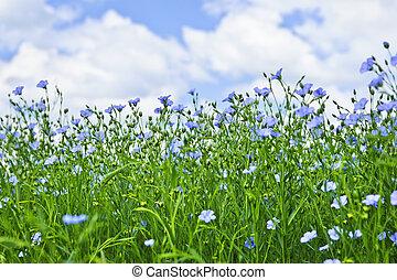 campo, lino, florecer