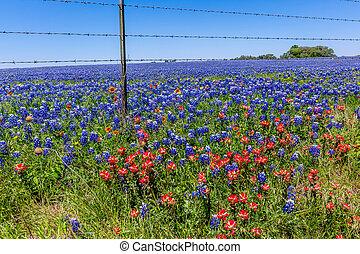 campo, lleno, bluebonnets., tejas
