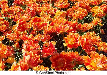 campo, lleno, de, naranja, tulipanes, en el flor