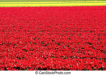 campo, lleno, de, rojo y amarillo, tulipanes, en el flor