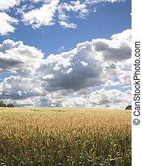 campo maíz, 1