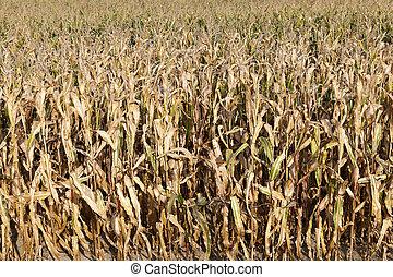 campo, maíz, maduro