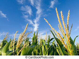 campo, maíz, nubes, agradable
