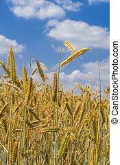 campo, maíz, ocaso