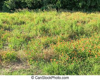 campo, manta, tibio, florecer, primavera, coppell, luz, ...