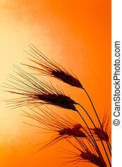 campo milho, com, cevada, antes de, pôr do sol