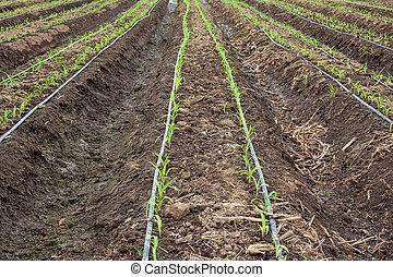 campo milho, crescendo, com, gotejamento, irrigação, system.