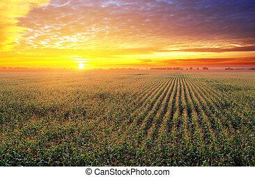 campo milho, em, pôr do sol