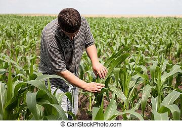 campo, milho, jovem, agricultor