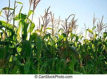 campo, milho, manhã