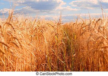 campo, milho, noite