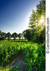 campo milho, pôr do sol