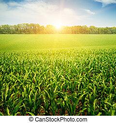 campo, milho, sobre, amanhecer