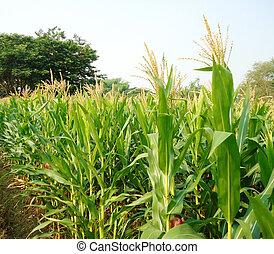 campo milho, verde