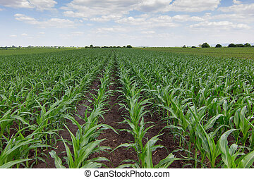 campo, milho, verde