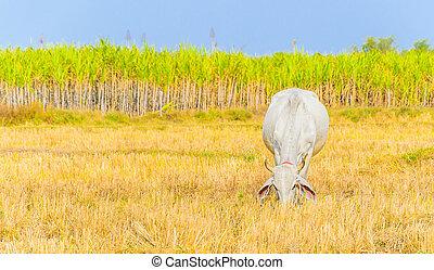 campo, mucca