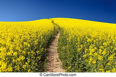 campo, napus), (brassica, rapeseed