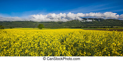 campo, nubes, rapeseed