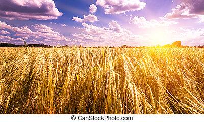 campo, ocaso, cebada