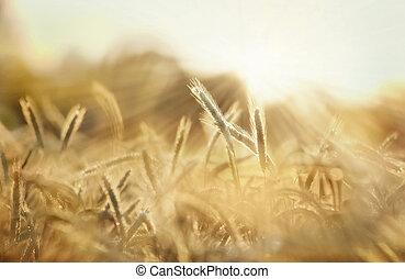 campo, orzo, sole