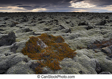 campo, overgrown, iceland., musgo, lava