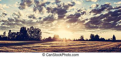 campo, panorama, en, sunset., dorado, campo de trigo
