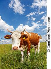 campo, piebald, mucca