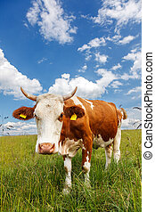 campo, piebald, vaca