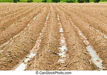 campo, planta, mandioca, manioc, o